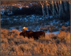 in the glow (laura's Point of View) Tags: winter sunset snow cold animal evening glow wildlife moose bull valley grandtetonnationalpark tetonmountains lauraspointofview lauraspov