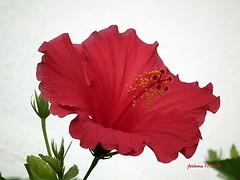 Mallorca -hibisco rojo 06 (ferlomu) Tags: ferlomu flor hibiscum mallorca flower