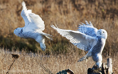 Snowy Owls at Boundary Bay, Delta BC (PhotoDG) Tags: snowyowl boundarybay deltabc owl delta vancouver bird birding nature wildlife eos30d ef100400mmf4556lisusm ef100400mm snowy 雪鸮 猫头鹰