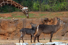 Abu follows a bit too close, Mom not moving fast enough (beachkat1) Tags: animals giraffe calf abu kokopelli zooatlanta waterbuck 2011 mbili