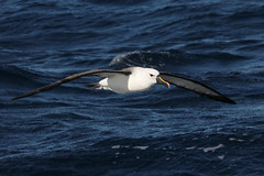 Indian Yellow-nosed Albatross (boombana) Tags: yellownosedalbatross albatross australianbirds diomedea thalassarche sydney nsw australia 2011 sydneypelagic pelagic indianyellownosedalbatross thalassarchecarteri