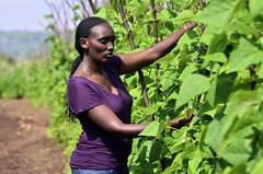 NP Rwanda 80 (CIAT International Center for Tropical Agriculture) Tags: africa women iron bean rwanda farmer agriculture population protein zinc eastafrica foodsecurity climbingbean highyield biofortification