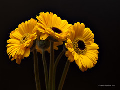 Sunshine (David S Wilson) Tags: uk flowers england flower yellow gerbera ely fujifilm lightroom 2011 adobelightroom3 davidswilson fujifilmx10