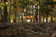 (Caitlin H. Faw) Tags: november trees light shadow usa sun color fall leaves animal digital landscape md nikon linden maryland deer silverspring 2011 d90 jonesmillroad caitlinfaw
