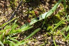 formicole (piervill) Tags: deleteme5 deleteme8 deleteme macro deleteme2 deleteme3 deleteme4 verde green deleteme6 deleteme9 deleteme7 deleteme10 ants formiche