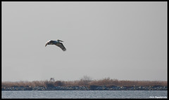 Pelican Soaring (pap-x) Tags: autumn winter sea fish bird nature canon fly pelican kalochori