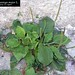 "Plantago major L., Plantaginaceae • <a style=""font-size:0.8em;"" href=""http://www.flickr.com/photos/62152544@N00/6596766445/"" target=""_blank"">View on Flickr</a>"