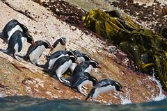 MAPedrera_Penguins_7 (Miguel A. Pedrera) Tags: newzealand birds penguins aves seabirds nuevazelanda pingüinos snarespenguin eudyptesrobustus avesmarinas snaresisland
