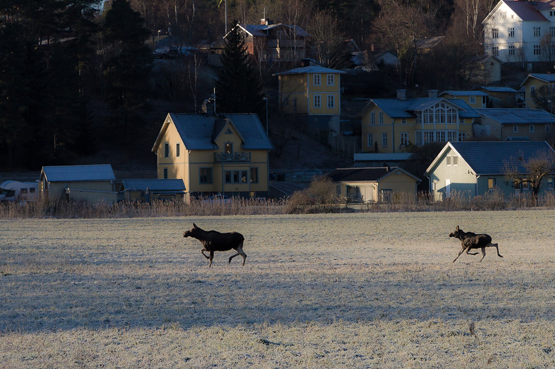 Elk 1 Of 3 Mauritzson Foto Tags Road Winter Animal Cow