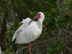 "White Ibis spotted along Wildlife Drive • <a style=""font-size:0.8em;"" href=""http://www.flickr.com/photos/43501506@N07/6614004437/"" target=""_blank"">View on Flickr</a>"
