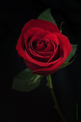 (Fahad Al-Robah) Tags: flowers red flower rose petals