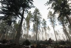 Misty Forest (sskelman) Tags: wood uk winter forest scotland perthshire perth hermitage dunkeld rumblingbridge