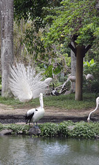 _MG_1897 (James_Roberts) Tags: bali holiday october flamingo peacock 2011 tamanburungbalibirdpark