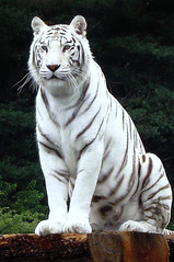 Uniquely, the white tiger (scorpion 13 /) Tags: white car animal by zoo drive tiger visit safaripark stukenbrock abigfave anawesomeshot