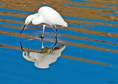 Mirror Image (Steve Corey) Tags: ca birds pismobeach snowyegret wildbirds fishingbird droh huntingbird dailyrayofhope mirrorwater birdperfect dailyrayofhope2012