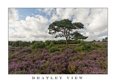 LONE TREE (mark_rutley) Tags: heather hampshire newforest singletree lonetree scotspine bratleyview