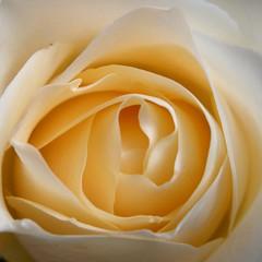 Honeydew Rose (BikBik) Tags: flower rose yellow honeydew honey dew vanilla offwhite fantasticflower allxpressus bikbik mimamorflowers worldofroses
