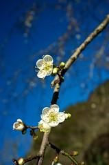 2012 Jan  X100 34 (Austin's Footprints) Tags: taiwan fujifilm digitalcamera plumblossoms nantou  taiwanimage beautifultaiwan finepixx100