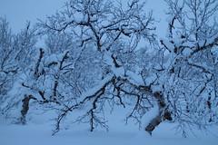 Smtrollskog (Ingerid Jordal) Tags: snow cold sn kaldt bltime srvaranger mrektid