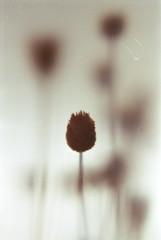 goodbye (caterpiya) Tags: flower macro film up analog 35mm close minolta 101 filter kit bud dried press srt c41 jobo