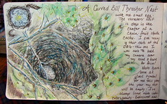 thrasher nest nj (Az~Kate) Tags: art watercolor nest mixedmedia egg naturejournal sortasketchy