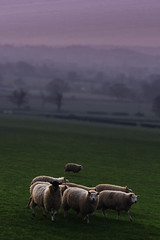 Another Sheep Shot (jillyspoon) Tags: sunset green wool field grass rural canon walking eos evening countryside twilight view sheep dusk yorkshire country flock agriculture harrogate fleece herd canoneos northyorkshire purples 60d canon60d 55250mm niftytwofifty nirthyorkshire
