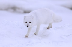 "Polarfuchs, North Slope, Alaska • <a style=""font-size:0.8em;"" href=""http://www.flickr.com/photos/73418017@N07/6730311009/"" target=""_blank"">View on Flickr</a>"