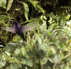 Colibrí (rgugliotta7) Tags: nature animals waterfall colibrí animalkingdomelite trochilinae