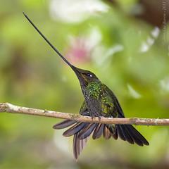Sword-billed Hummingbird (Ensifera ensifera) (Jeluba) Tags: bird nature square ecuador wildlife aves ornithology birdwatching oiseau carré neotropical swordbilledhummingbird ensiferaensifera schwertschnabelkolibri colibriporteépée