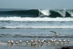 Scripps (pilz8) Tags: california beach birds coast surf wave swell scripps terns pilz8