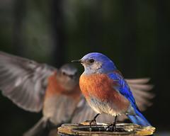 Male Western Bluebird --- backyard 073 (Pat Durkin - TEN MILLION VIEWS!) Tags: male interestingness