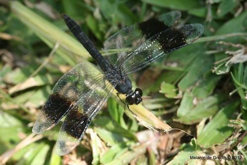 Black Dragon Fly