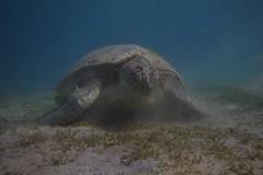 Sea turtle (Mercury dog) Tags: turtle redsea egypt scuba diving marsaalam 1020mmf456exdc nimar