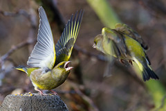 Angry birds (Oliver C Wright) Tags: birds greenfinch rspb fairburn angrybirds