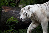 IMG_2638 (Marc Aurel) Tags: zoo singapore tiger tigre singapur whitetiger zoologischergarten singaporezoo weddingtrip hochzeitsreise bengaltiger pantheratigris zoologicalgarden königstiger pantheratigristigris royalbengaltiger pantheratigrisbengalensis weisertiger 5dmarkii eos5dmarkii indischertiger tigrebiancha