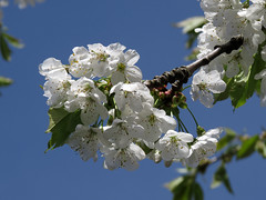 Cherryblossom (Dimormar!) Tags: garden cherryblossom tuin lente springtime kers voorjaar kersenbloesem canonpowershotsx50hs normaalpasrond30aprilinbloei