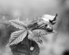 Ladybug In Black & White (that_damn_duck) Tags: bw macro nature insect blackwhite unitedstates southcarolina ladybug