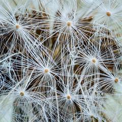 Dandelion Seed Head (melmark44) Tags: macro tripod 100mm dandelion seeds parachute 1251 1125 rrs taraxacumofficinale pappus focusingrail mirrorlock