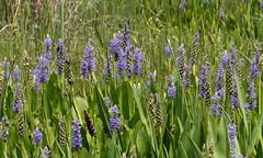 Pickerelweed (Pontederia cordata) (Mary Keim) Tags: centralflorida floridanativewildflowers tosohatcheewma marykeim taxonomy:binomial=pontederiacordata