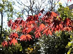 Acer Palmatum Atropurpureum - Japanese Maple (j.a.sanderson) Tags: trees light tree garden photography photo spring japanesemaple shrub blackpool shrubs springtime acerpalmatumatropurpureum
