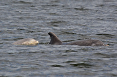 Mother + Young (np1991) Tags: camera uk slr digital lens point islands scotland highlands nikon bigma united sigma kingdom dolphins 50500 500 dslr 50 moray firth bottlenose fortrose 50500mm chanory d7100