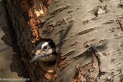 Hole Sweet Home (rdroniuk) Tags: birds pics woodpeckers oiseaux smallbirds hairywoodpecker picoidesvillosus picchevelu passerines hairywoodpeckerfemale passereaux
