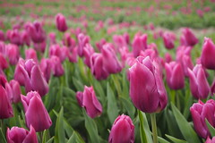 Tulpenveld (Gerrit Veldman) Tags: flevoland noordoostpolder bollenveld tulpen tulpenveld roze