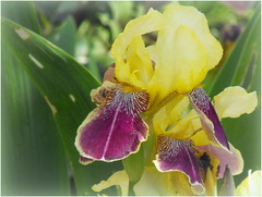 Irises (Stella VM) Tags: flowers iris yellow garden spring purple irises
