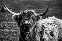 Highland Cow - Photobombed! (Derek Coull) Tags: field mono scotland highlands aberdeenshire farm scottish croft browncow moray coo highlandcow photobombed silverefexpro2 samsungnx500