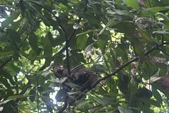 A monkey in the tropical rainforest in Rio de Janeiro, Brazil (eltpics) Tags: brazil riodejaneiro monkey rainforest lookingup tropical eltpics