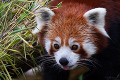 Firefox (Cloudtail the Snow Leopard) Tags: red animal mammal zoo firefox panda karlsruhe katzenbr kleiner tier roter sugetier ailurus fulgens feuerfuchs