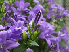 Bleu Bells Buds - 30 (Marguerite-Helene) Tags: spring bell bokeh bleu buds campanule