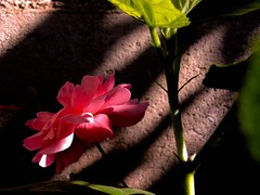 Rosa espiritual (anitareal) Tags: naturaleza color luz argentina hojas rojo nikon personal flor rosa sombra libre jujuy brillo vislumbre romntico anamariareal