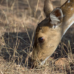 J77A3108 -- A Spotted Deer looking for food in Ranthambhore nature reserve, in India (Nils Axel Braathen) Tags: india animals asia wildlife ranthambhore